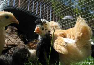 chickens at outside play time