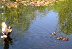 white center heights park, white center, seattle, wa, pond, ducks