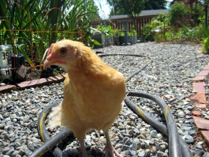 buff orpington seattle garden