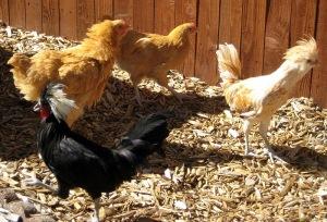 jesse & esmeralda- polish rooster chicks