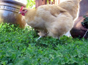 october mid month meanderings at grow and resist buff orpington chicken
