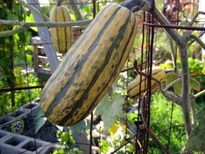 october mid month meanderings at grow and resist delicata squash
