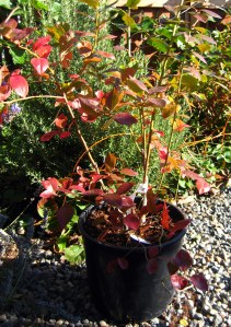 october mid month meanderings at grow and resist blueberry bush