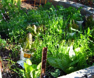 october mid month meanderings at grow and resist fall cover crop and lettuce
