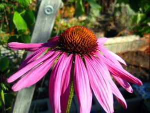 october mid month meanderings at grow and resist echinacea