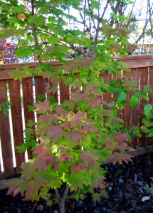 october mid month meanderings at grow and resist vine maple