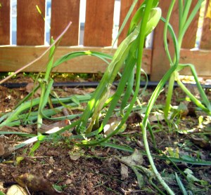 october mid month meanderings at grow and resist trampled leeks