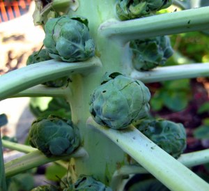 october mid month meanderings at grow and resist brussel sprouts