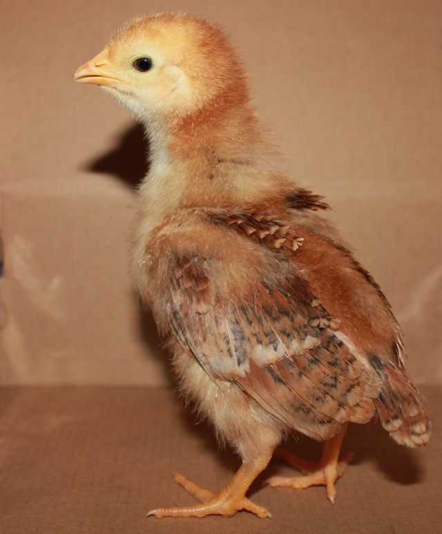 grow and resist rhode island red chicken