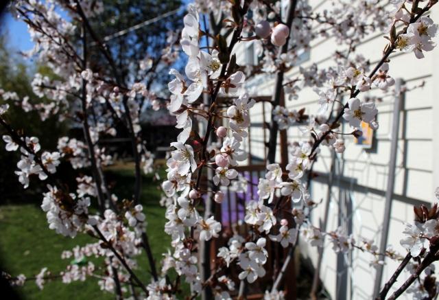 grow and resist spring has sprung plum