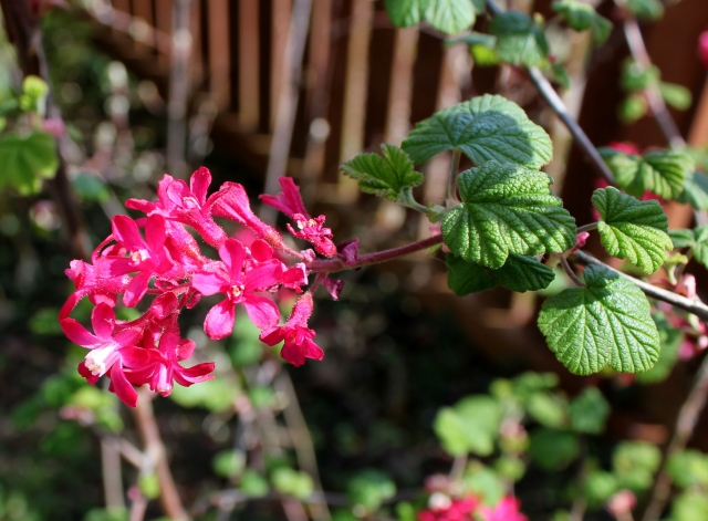 grow and resist april mid month meanderings red flowering currant