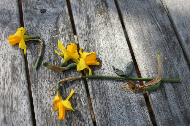 grow and resist april mid month meanderings daffodils