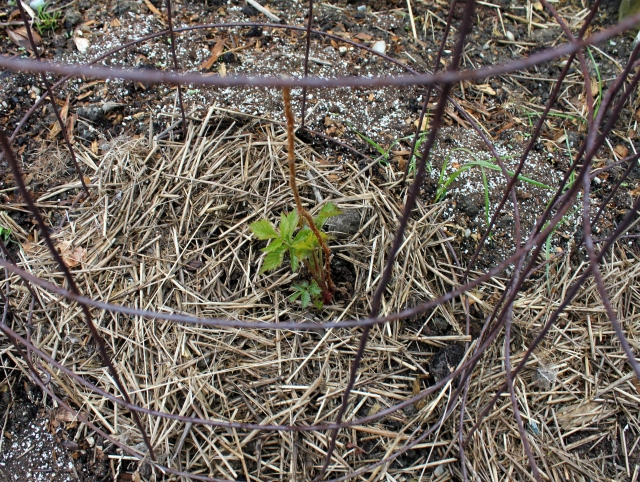 grow and resist april mid month meanderings cane berries in tomato cages
