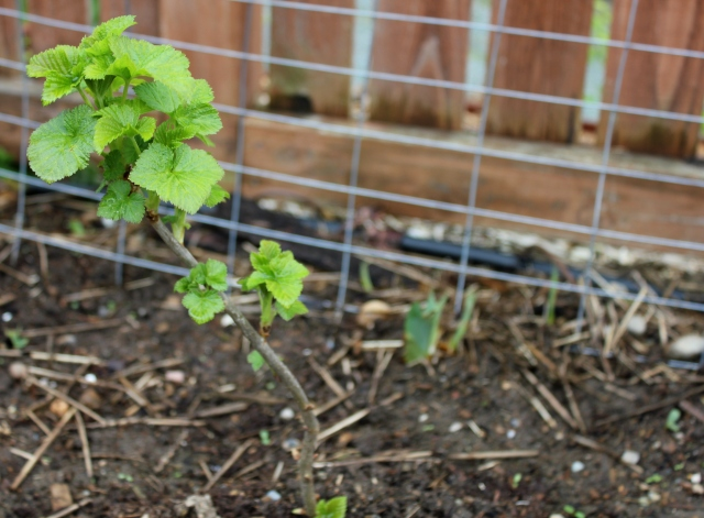 grow and resist april mid month meanderings black currant and pea trellis/support