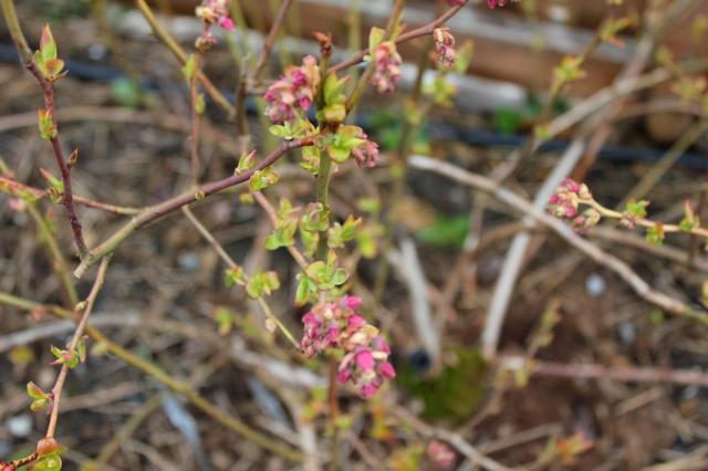 grow and resist mid month meanderings blueberries