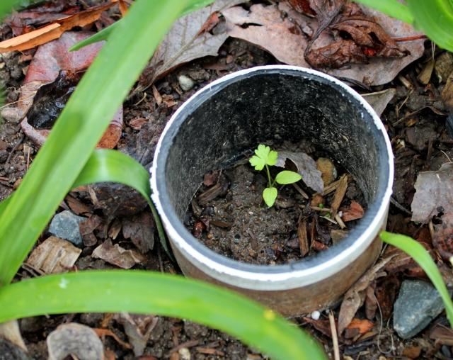 grow and resist mid month meanderings parsley slug collar