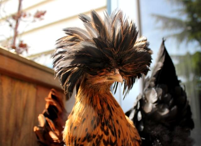golden polish chick grow and resist