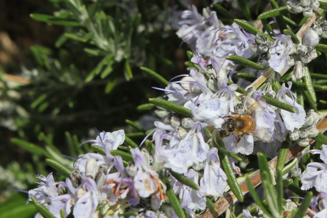 grow and resist may mid month meanderings bee and rosemary bloom