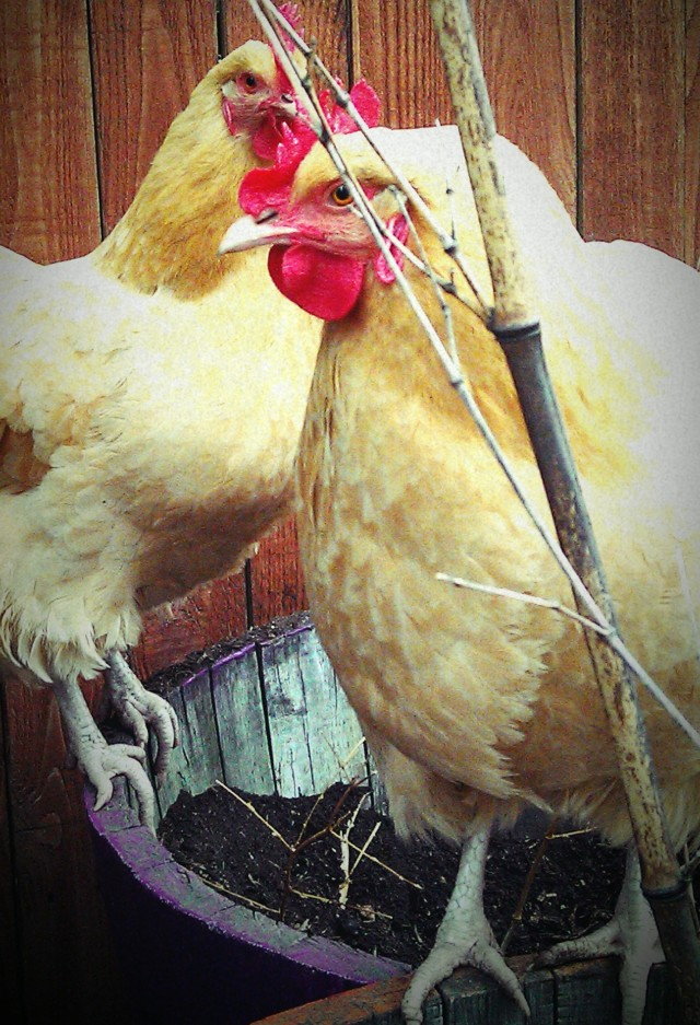 grow and resist buff orpington chickens