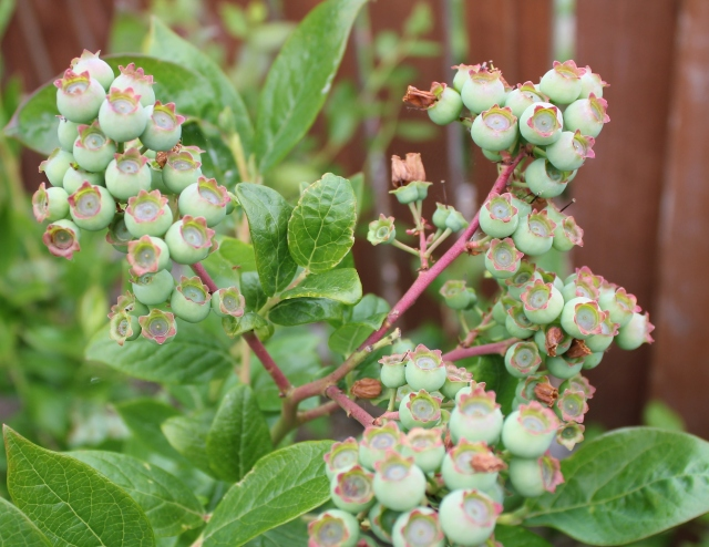 grow and resist june mid month meanderings blueberries