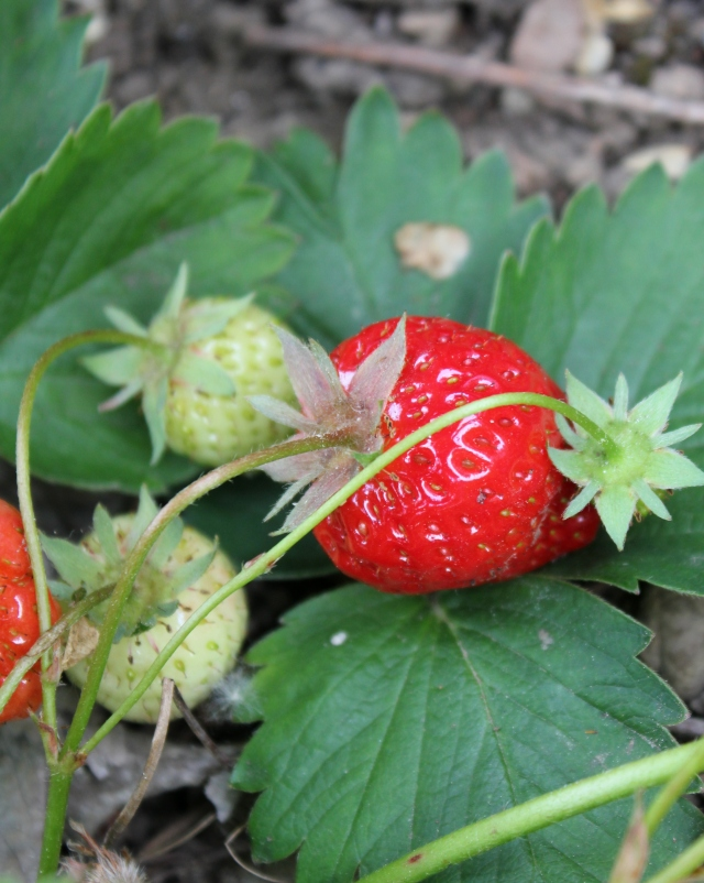 grow and resist june mid month meanderings strawberry
