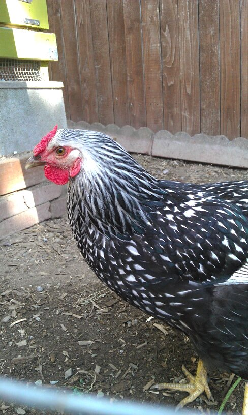 grow and resist chicken john denver silver laced wyandotte daddy
