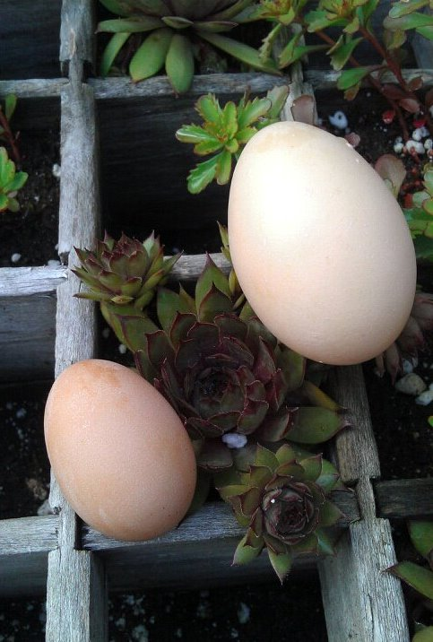 grow and resist chicken pullet egg compared to hen egg