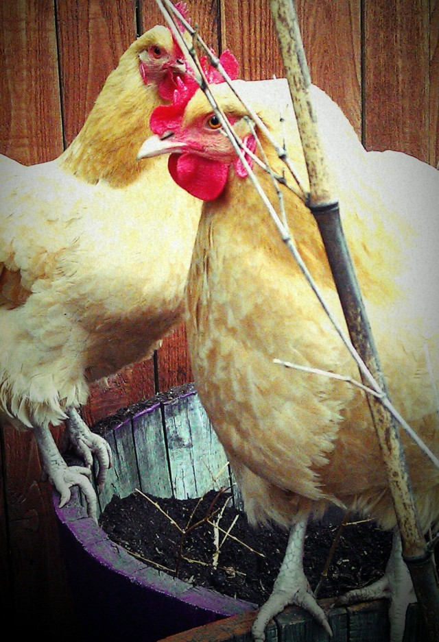 grow and resist chickens john denver buff orpington the annies
