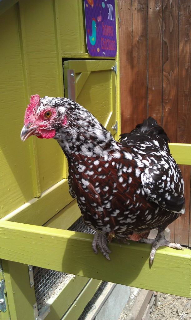 grow and resist chickens john denver speckled sussex aspen