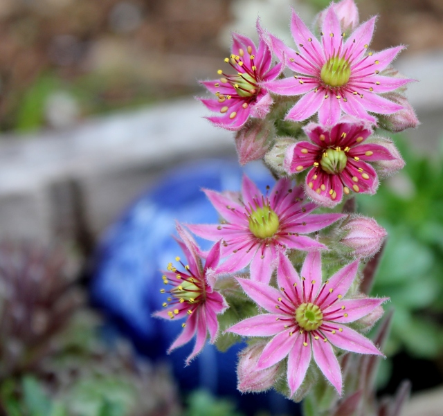 grow and resist july mid month meanderings sedums blooming