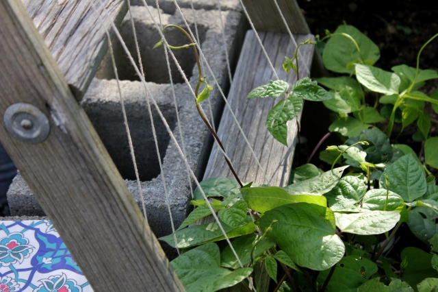 grow and resist july mid month meanderings pole beans