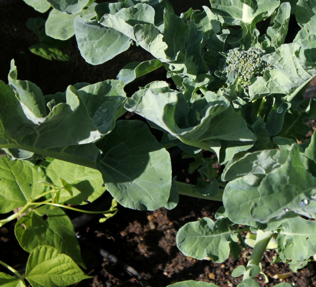 grow and resist july mid month meanderings broccoli