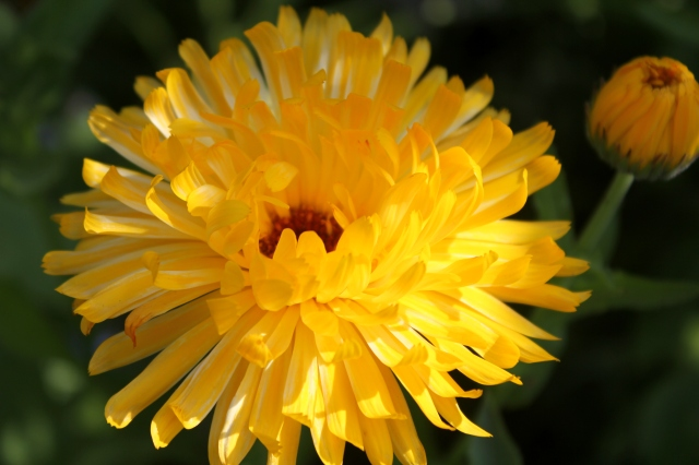 grow and resist july mid month meanderings calendula