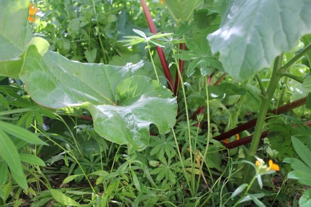 grow and resist july mid month meanderings rhubarb