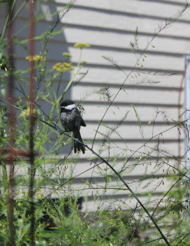 grow and resist july mid month meanderings baby bird on asparagus fern