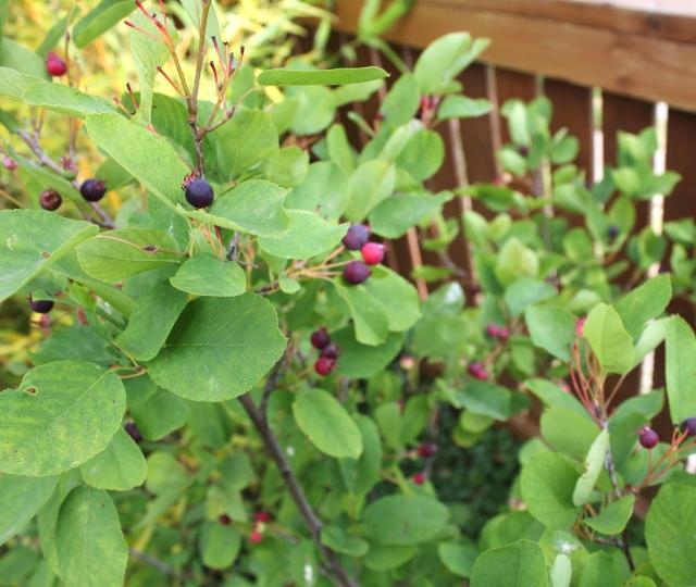 grow and resist july mid month meanderings service berries or june berries