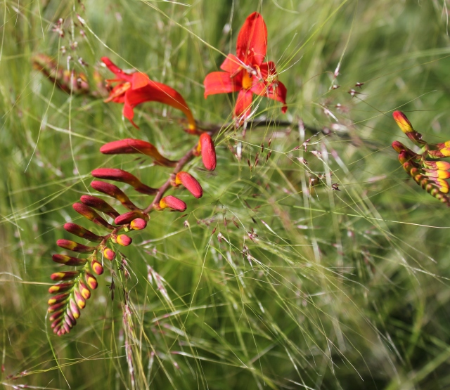 grow and resist july mid month meanderings crocosmia