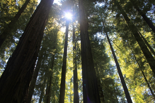 Avenue of the Giants redwood trees grow and resist parenting roadtrip post
