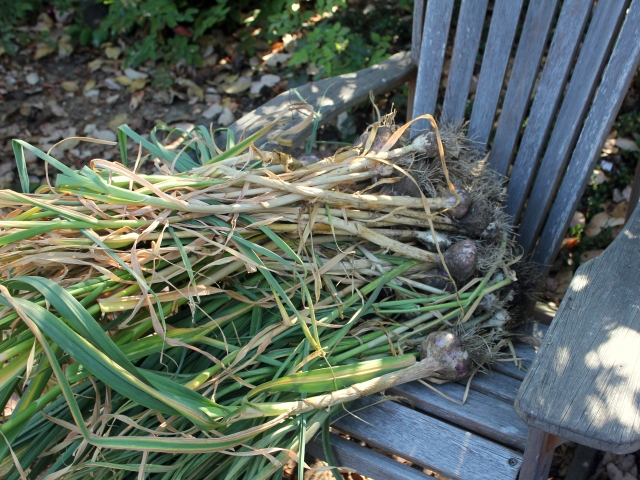 grow and resist august mid month meanderings garlic