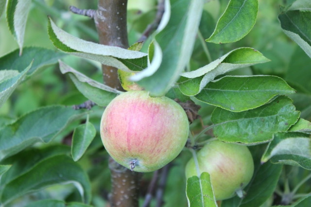 grow and resist august mid month meanderings apple