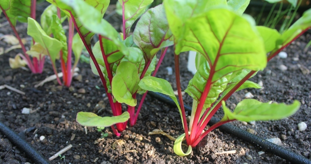 grow and resist august mid month meanderings chard