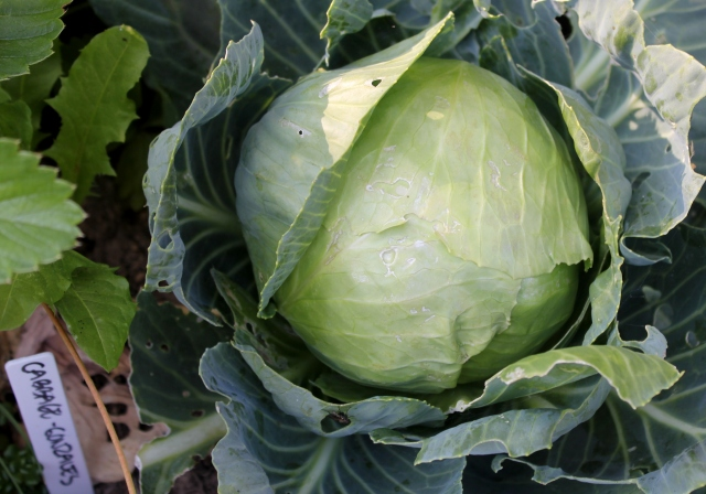 grow and resist august mid month meanderings cabbage