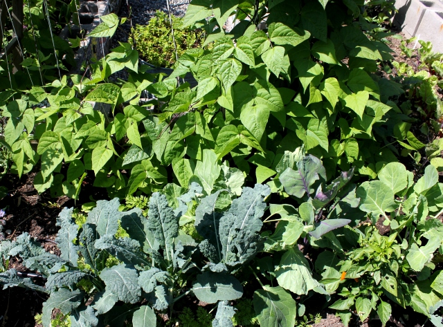 grow and resist august mid month meanderings kale, brussell sprouts and carrots