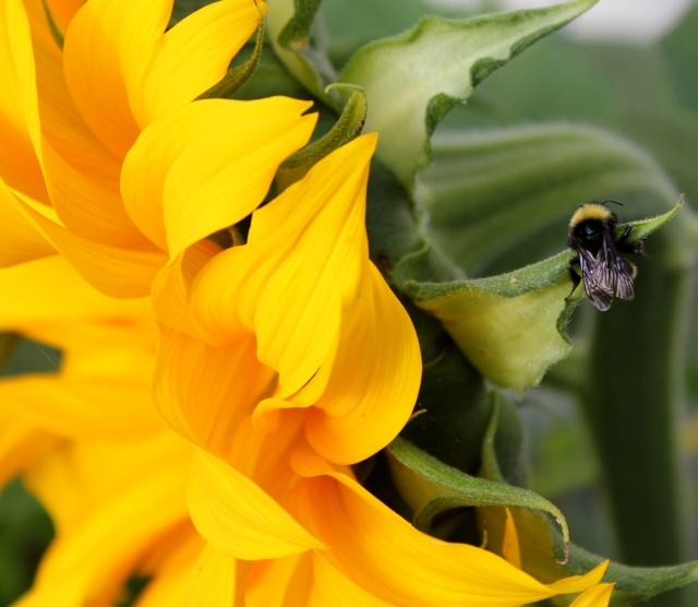 grow and resist august mid month meanderings sunflower and bee