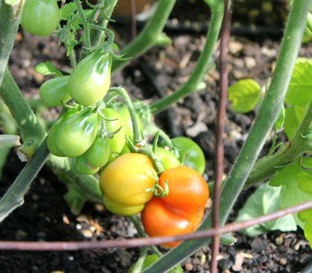 grow and resist august mid month meanderings tomato