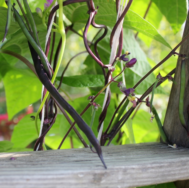 grow and resist august mid month meanderings pole beans