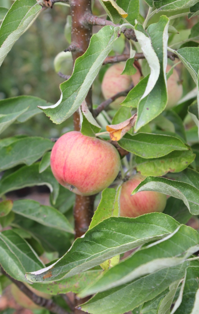 grow and resist mid month meanderings september apple