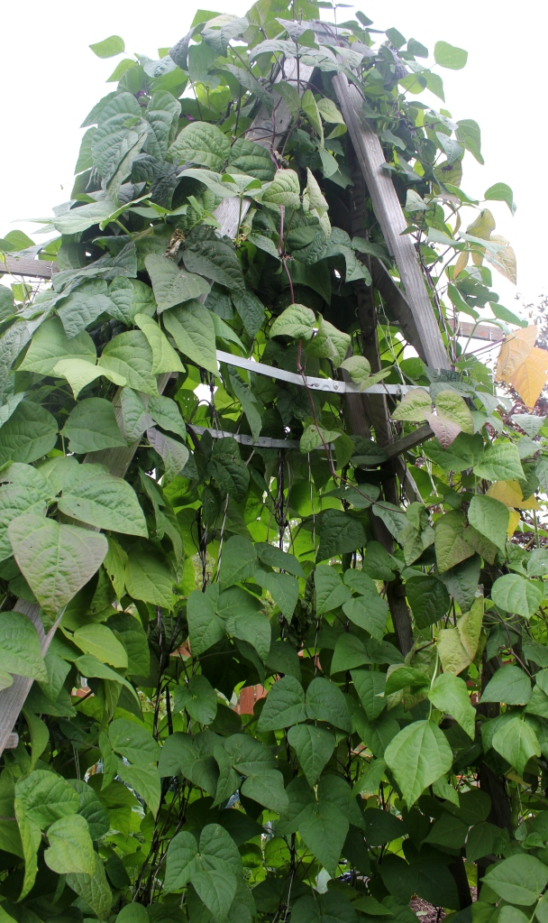 grow and resist mid month meanderings september pole beans