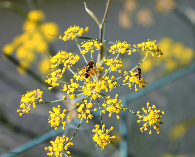grow and resist mid month meanderings september fennel and bees