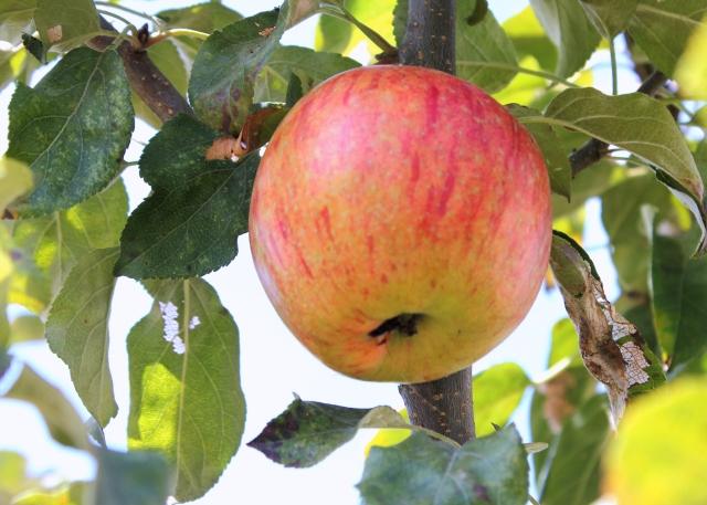 grow and resist mid month meanderings september apple